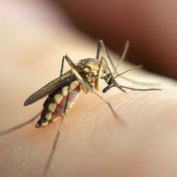 close up mosquito sucking blood from human skin
