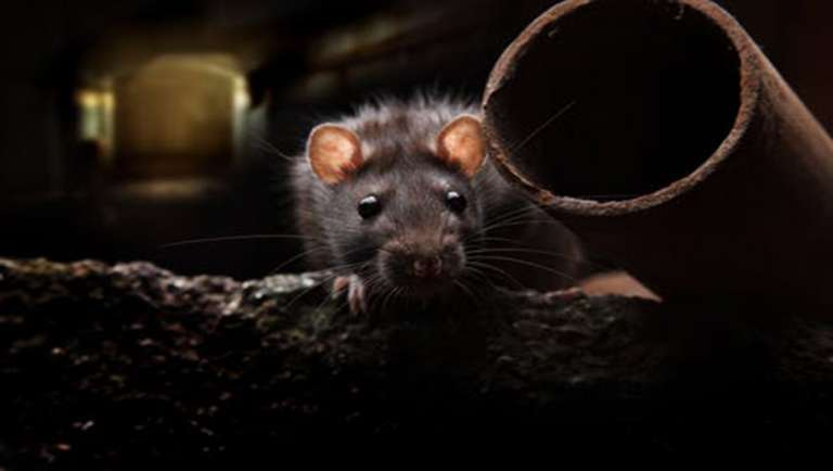 RATS AND DNA