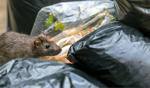 RATS IN TRASH