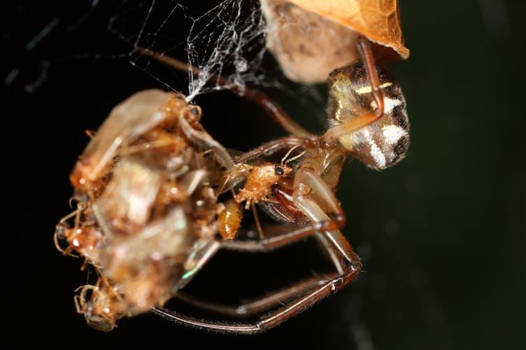 SPIDER KILLING PESTS