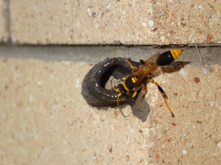 WASPS KILLING OTHER PESTS