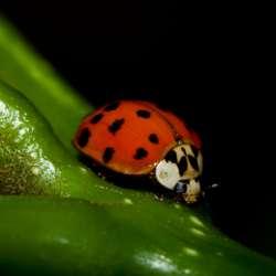 Asian_beetle