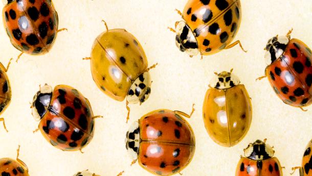 group_of_asian_beetles