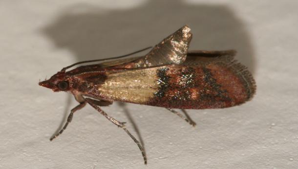 Indian-Meal Moths