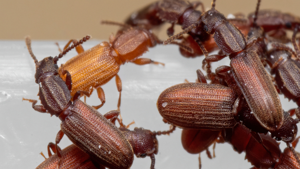 Group_of_Sawtoothed_Grain_Beetle_on_White_Plastic_Box